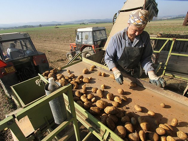 S výbornou úrodou brambor počítají letos v Zemědělském družstvu Třebonín na Českokrumlovsku. Družstvu se do vlastního skladu vejde celá produkce, která by měla letos činit přibližně 1000 metráků brambor. Na snímku je sklizeň na poli u Dolního Třebonína.