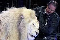 Lacey s Balugou, prvním bílým lvem, který se v Krone narodil.