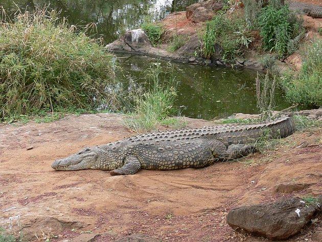 Krokodýl nilský.
