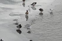 Vodní ptáci využívají k přezimování na jihu Čech nezamrzající vodní plochy. Na snímku racci chechtaví, oblečení ovšem do tak zvaného zimního šatu a kachny.