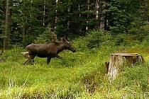 Losí mládě chodilo Bavorským lesem.