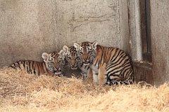 Čtveřice tygříků z hlubocké zoo má zase sebou vážení a očkování.