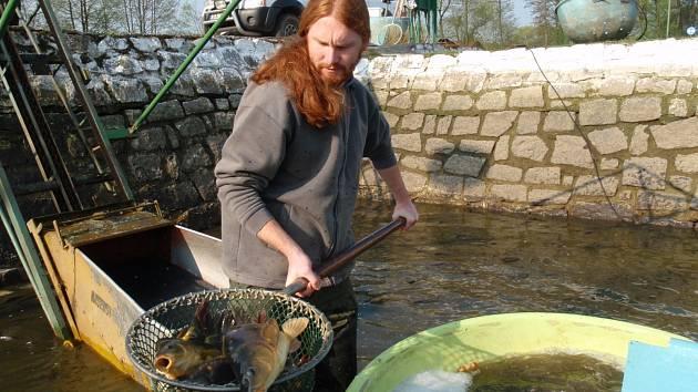 Omega 3 kapry přikrmují vědci speciální směsí z řepky a lněného semínka. Na snímku Jan Mráz při nasazování ryb v Blatné.