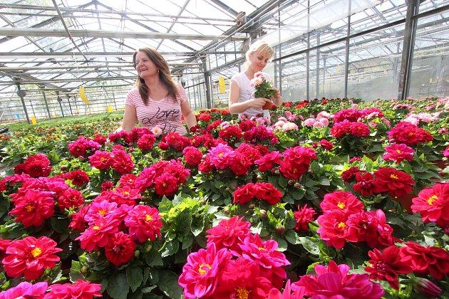 Sto padesát tisíc balkonových květin ze zahradnictví vHluboké nad Vltavou,blondýna Květa Sedláčková,tmavovlasá Blanka Sedláková a svodou Marcela Buchtelová