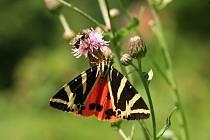 Přástevník kostivalový, evropsky chráněný motýls tmavou kresbou na okrovém a červeném podkladu.