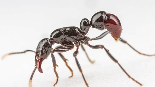 Mravenec Gnamptogenys albiclava, který byl dosud znám jen z jednoho exempláře sebraného před sto lety. Vědci z BC nalezli několik kolonií v horské oblasti ostrova Guadalcanal a zdokumentovali jeho biologii.