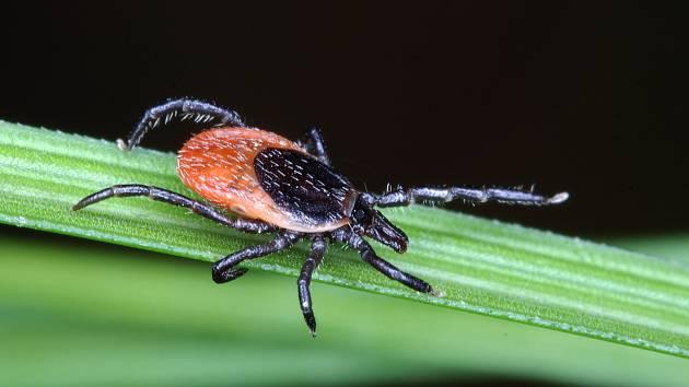 Klíště obecné (Ixodes ricinus) – samice.