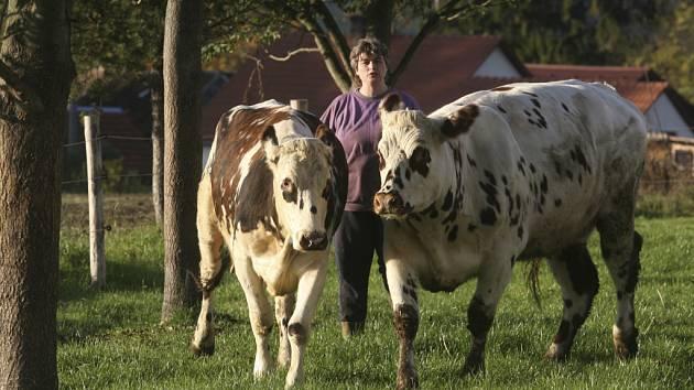 Čistokrevných krav je zatím v Česku jen kolem šedesáti.