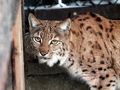 Rysí samice Cora, která se přistěhovala do Zoo Ohrada.
