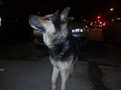 Ztracený starší vlčák bez obojku měl evidentně hlad. Na majitele čeká v psím útulku.