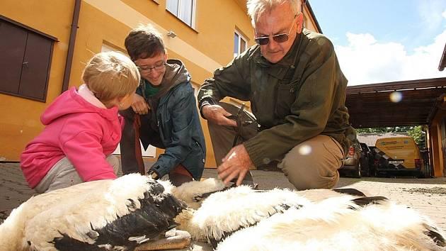 Přehled o pohybu letošních čapích mláďat budou mít díky kroužkování ornitologové. V úterý například označili čapí rodinku v Lišově. Nejprve museli vystoupat k hnízdu po žebříku, ptáčata snesli ve vaku na zem, kde je pak Stanislav Chvapil okroužkoval.