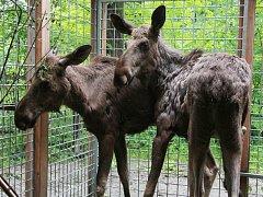 Dvě nové losí samičky v Zoo Ohrada.