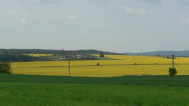 Řepka olejka se stala hojně zastoupenou plodinou na českých polích. Náš snímek je z okolí Koloměřic na Vltavotýnsku.