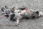 Kromě zvěře jsou časté také střety s domácími zvířaty. V případě sraženého psa či kočky, pokud není přítomen majitel, se o takovéto zvíře musí postarat obec, v jejímž katastru k události došlo.