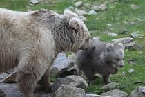 Na čtyři tygří mláďata si sice budou muset i děti počkat až do půlky prázdnin, ale mládě medvěda plavého a řadu dalších zvířat si mohou prohlédnout už nyní.