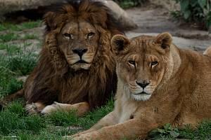 Mezinárodní den lvů oslaví v Zoo Dvorec