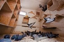 Obecní nebo městské holubníky dobře fungují v Německu, Holandsku, Rakousku, Belgii, Velké Británii, Španělsku nebo Francii.