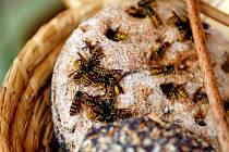 Kvůli suchu vosy letos hledají potravu více i v okolí lidských sídel.