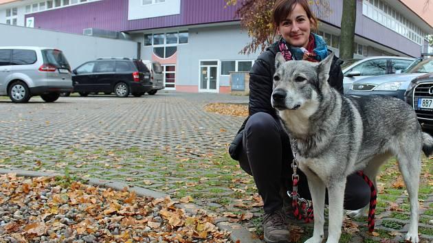 Chovatelka Michaela Plachá ze Zlaté Koruny se stará o fenu Caisu severského plemene švédský losí pes.