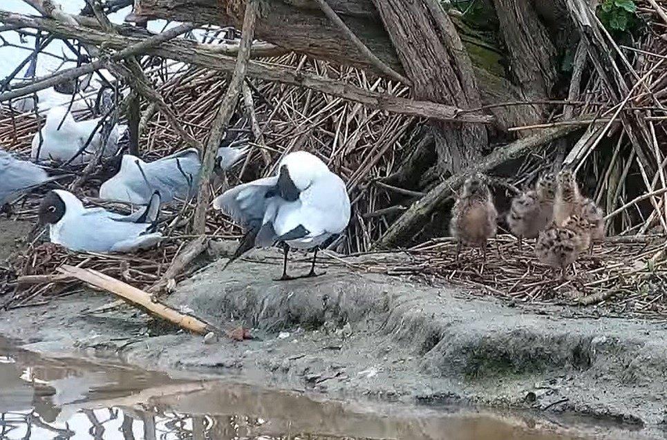 Racčí čtyřčata už prozkoumávají okolí hnízda. Rodiče se o ně starají 35 až 42 dnů.