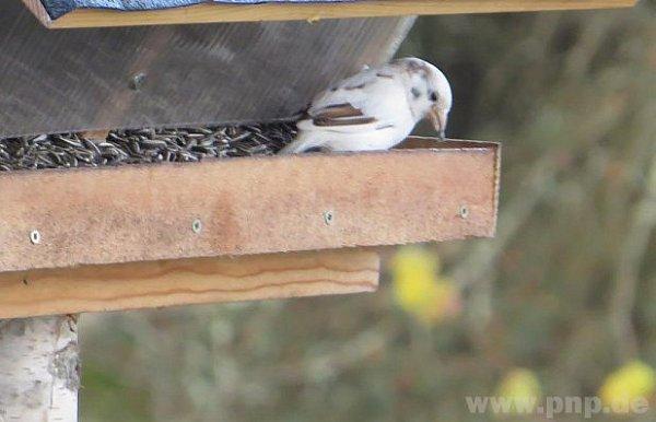 Bílý vrabec vkrmítku sousedů.