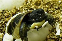 Nový přírůstek v ZOO Ohrada. Želva zelenavá se vylíhla ve středu 4. ledna.