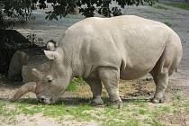 Tým zoologů povýšil severního tuponosého nosorožce na nový druh. V současné době se však ví pouze o osmi jedincích. Na snímku samice Fatu ze Zoo Dvůr Králové.