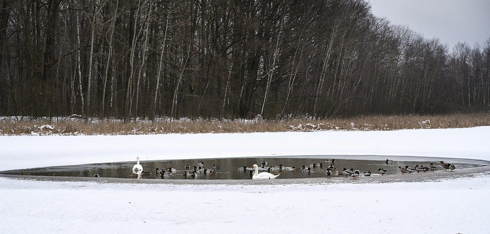 Labutě a kačenky 1