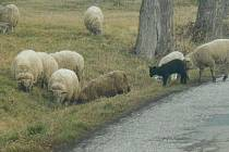 Stádo ovcí uteklo z pastviny.