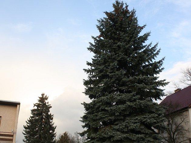 Dva stříbrné smrky zdobily zahradu Aleny Musilové vDobré Vodě. Starší (vpozadí) zůstane na místě, mladší (vpředu) bude letos vánočním stromem vČeských Budějovicích.