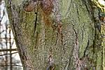 Duch stromový 16 - ušatý