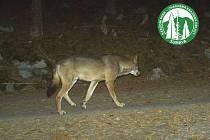 Fotopasti na Šumavě v loňském roce opakovaně zachytily vlka.