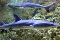 Ukázky z příprav 3D projektu Velká Bílá Odyssea Stevea Lichtaga, zaměřený na bílé žraloky, je jedním z lákadel festivalu Voda, moře, oceány, jenž se uskuteční od 16. do 18. září na Hluboké nad Vltavou.
