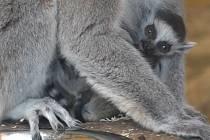 U lemurů kata jsou k vidění tři mláďata: dvojčata a jedináček.