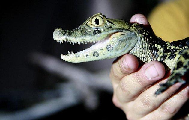 Ošetřovatel Jan Sobotka ukazuje roční mládě kajmana širokonosého chovaného v Krokodýlí ZOO v Protivíně. V netradiční zoologické zahradě s teplotou kolem 33 °C a vlhkostí 90 % postavené ze soukromého chovu provozovatele Miroslava Procházky.