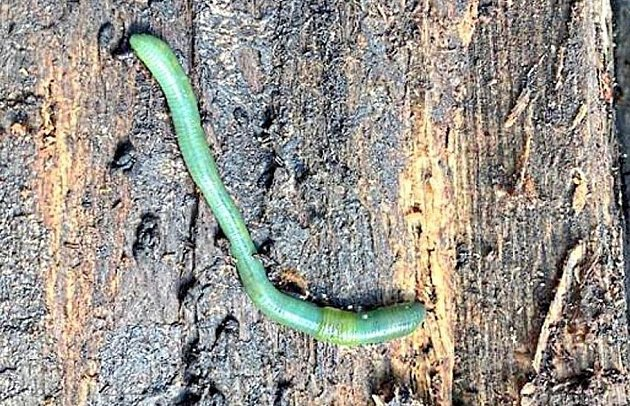 Neobvyklý červ na buku.