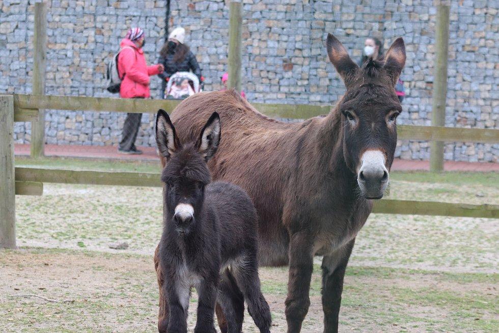 Zoo Ohrada v Hluboké nad Vltavou otevřena. Oslík domácí se narodil ve čtvtek minulý týden.
