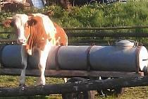 Bavorská kráva akrobatka.