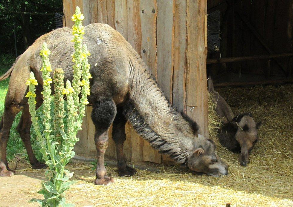 Zoo Na Hrádečku s majitelkou Romanou Albrechtovou se věnuje chovu velbloudů již 10 let.