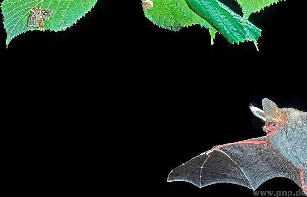 Chystají noc netopýrů.