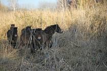 V rámci projektu Česká krajina byli vypuštěni do dalších rezervací ve volné přírodě divocí koně.