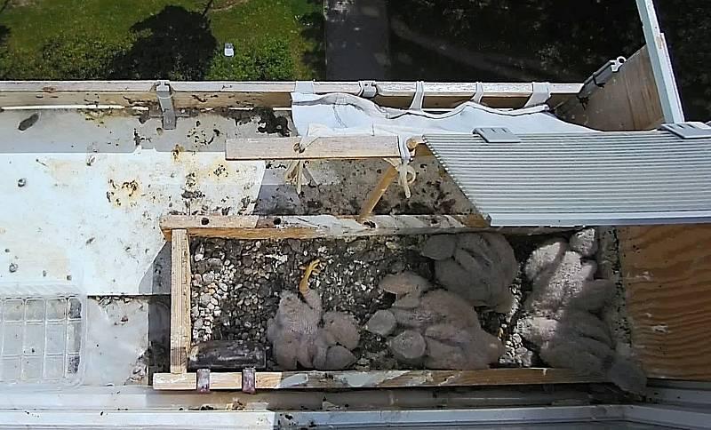Poštolky zahnízdily v truhlíku na parapetu v 6. patře paneláku. Hnízdo v poledním vedru 1. června.