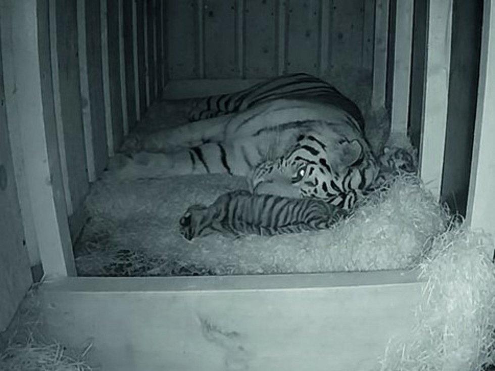 Samici tygra ussurijského Altaice se 5. července 2021 v zoo v Hluboké nad Vltavou narodila dvě mláďata. Jejich otcem je samec Oliver.
