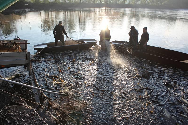 Podzimní sezónu výlovů pro vánoční trh zahájili ve čtvrtek 24. září 2020 zaměstnanci Lesů a rybníků města Českých Budějovic. Na snímku výlov Vrbenského zadního rybníku.