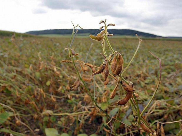 Němci pěstují stále víc soji.