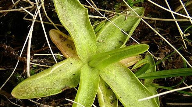 Masožravá rostlina, tlustice obecná, se stala objektem výzkumu v Nových Hradech.