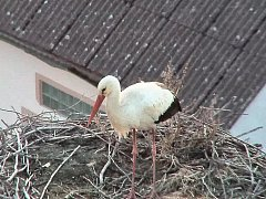 O čapí hnízdo v Dubném byl letos nevídaný zájem.