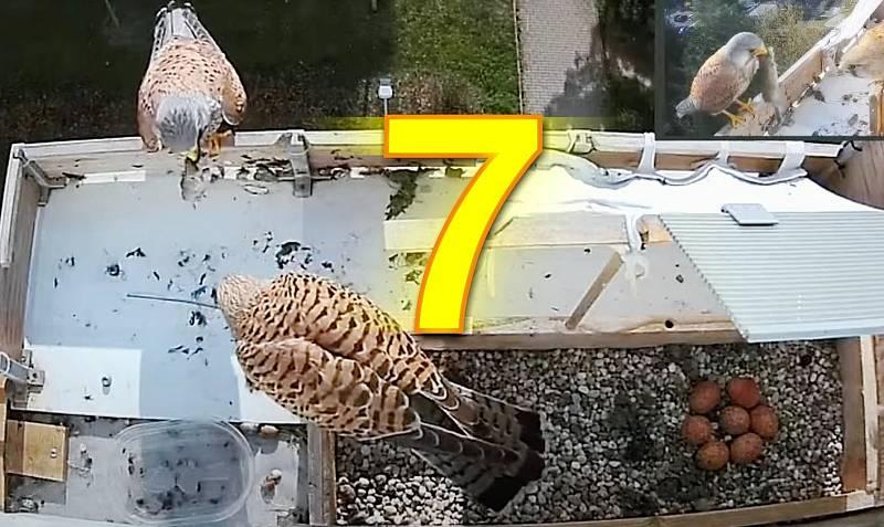 Poštolky zahnízdily v truhlíku na parapetu v 6. patře paneláku. Snůška sedmi vajec 27. dubna.