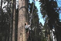 Zakladatel laboratoře Jiří Mánek sbírá pro genetické analýzy smrkové větvičky s pupeny. Pokud nestačí žebřík a šestimetrová tyč, najímá si horolezce. Při rozboru jedné smrkové populace potřebuje materiál ze sedmdesáti stromů.