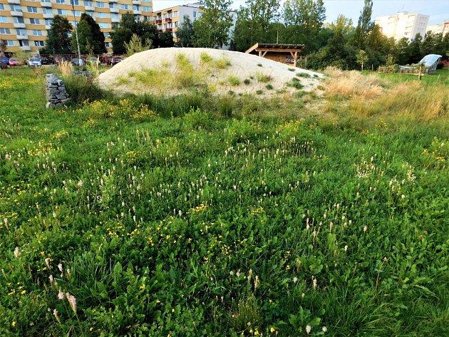 Rozkvetly trávník na fakultní zahradě Přírodovědecké fakulty Jihočeské univerzity vČeských Budějovicích (vpozadí písečná duna).